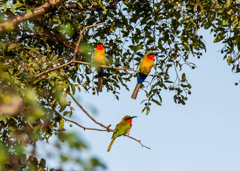 Bee-Eater-1