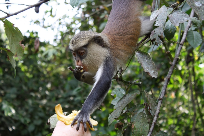 monkey-taking-banana-pic